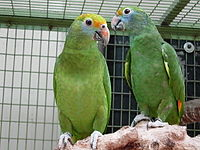 Amazona dufresniana -two captive-8a