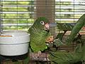 Amazona vittata -Maricao, Puerto Rico-8a.jpg