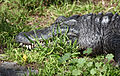 American Alligator (3336802355).jpg