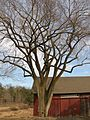 American Elm at Hill-Stead Property, Farmington, CT - March 2012.jpg