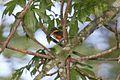 American Pygmy Kingfisher (Chloroceryle aenea) (5198921570).jpg