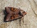 Amphipoea fucosa lucens oculea - Ear moth - Совка яровая (30622266968).jpg