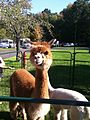 An alpaca in Connecticut.jpeg