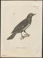 Analcipus sanguinolentus - 1700-1880 - Print - Iconographia Zoologica - Special Collections University of Amsterdam - UBA01 IZ16400151.tif
