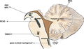 Anatomical substrates for vertical and horizontal saccades.png
