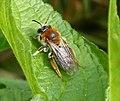 Andrena haemorrhoa. Early Mining Bee (33171018824).jpg