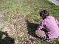 Anemone coronaria Les Croisières Comptage 2 le 13032014.jpg