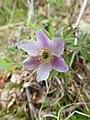Anemonoides nemorosa 75016776.jpg
