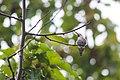 Anna's hummingbird (38416546316).jpg
