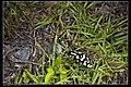 Anoplophora horsfieldi tonkinensis (18797808565).jpg