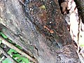 Ant on a tree trunk.jpg