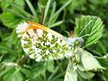 Anthocharis cardamines (Orange Tip) male, Elst (Gld), the Netherlands.jpg