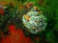 Anthothoe chilensis PB300140.JPG