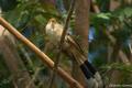 Anu-branco (Guira guira).png