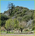 Apple Trees, Seven Oaks 4-5-14a (13738643713).jpg