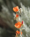 Apricot mallow 2 flowers close.jpg
