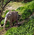 April2004SiberianTiger.jpg