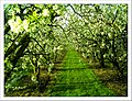 April Season Apple Blossom - Master Landscape Rhine Valley 2013 - panoramio (2).jpg