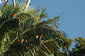 Ara chloropterus -Peru -perching in tree-8.jpg