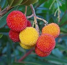 Semena Planika obecná (Arbutus unedo)