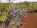 Arbusto - panoramio (1).jpg