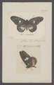 Archonias - Print - Iconographia Zoologica - Special Collections University of Amsterdam - UBAINV0274 051 01 0002.tif