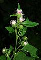 Arctium lappa - flowers.jpg