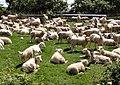 Are ewe looking at me^ - geograph.org.uk - 458277.jpg