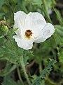Argemone grandiflora Argemon wielkokwiatowy 2019-08-03 02.jpg