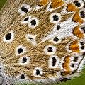 Aricia agestis female détail.jpg
