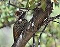 Arizona Woodpecker (33633493260).jpg