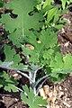 Artemisia annua 0zz.jpg