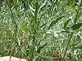 Artemisia ludoviciana ssp. incompta (8001063574).jpg