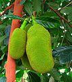 Artocarpus heterophyllus 1.jpg