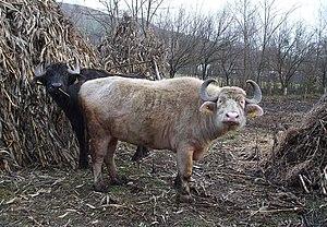 Romanian buffalo - Romanian buffalo, Bubalus bubalis