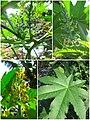 Arya - ricinus communis - jarak Pilangsari 2019 collage.jpg
