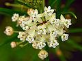 Asclepias verticillata (9388551493) 4x3.jpg