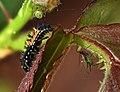 Asian Lady Beetle (Harmonia axyridis) Larva & Macrosiphum rosae (jh04).jpg