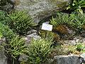 Asplenium trichomanes - Botanischer Garten, Frankfurt am Main - DSC02655.JPG