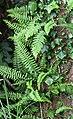 Association lierre (hedera helix) et Fougère (Polypodium vulgare) en épiphyte Marenla 03 aout 2017 01.jpg