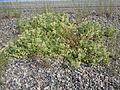 Astragalus lentiginosus salinus (5124283072).jpg