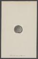 Astylospongia praemorsa - - Print - Iconographia Zoologica - Special Collections University of Amsterdam - UBAINV0274 007 04 0011.tif