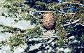 Atlas cedar (Cedrus ?) Leaves & cone. Middle Atlas (37497613140).jpg