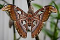 Atlas moth (11739509936).jpg