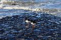 Austernfischer an der Nordseeküste.jpg