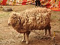 Australian sheep-1-praba pet-salem-India.jpg