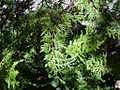 Austrocedrus chilensis 1.jpg