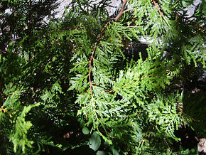 Description de l'image Austrocedrus chilensis.JPG.