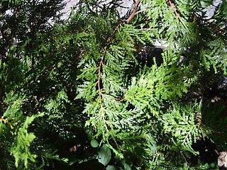 <i>Austrocedrus</i> genus of plants