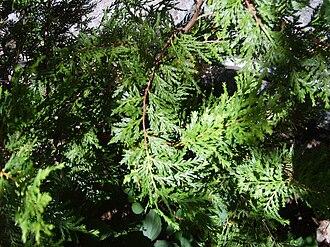 Austrocedrus - Image: Austrocedrus chilensis 1